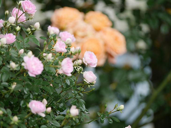 舞姫(マイヒメ)の花が増えて来た。ツルミニバラ。2021年-009.jpg
