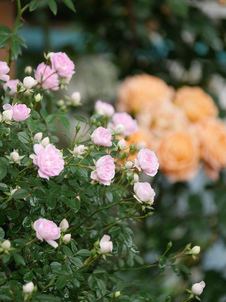 舞姫(マイヒメ)の花が増えて来た。ツルミニバラ。2021年-011.jpg