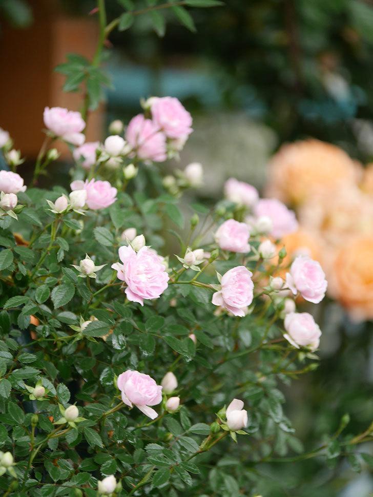 舞姫(マイヒメ)の花が増えて来た。ツルミニバラ。2021年-012.jpg
