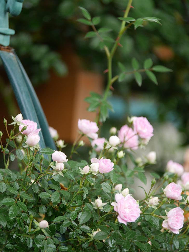 舞姫(マイヒメ)の花が増えて来た。ツルミニバラ。2021年-013.jpg