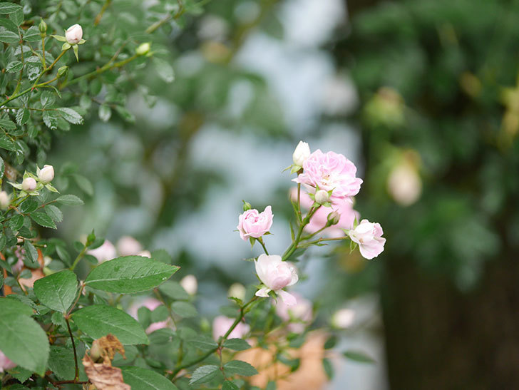 舞姫(マイヒメ)の花が増えて来た。ツルミニバラ。2021年-014.jpg