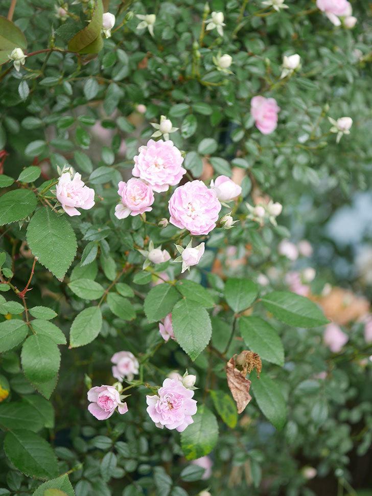 舞姫(マイヒメ)の花が増えて来た。ツルミニバラ。2021年-017.jpg