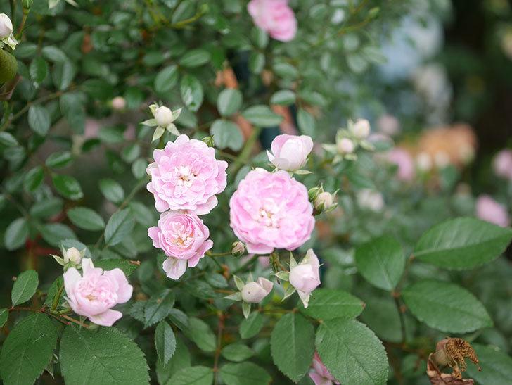 舞姫(マイヒメ)の花が増えて来た。ツルミニバラ。2021年-018.jpg