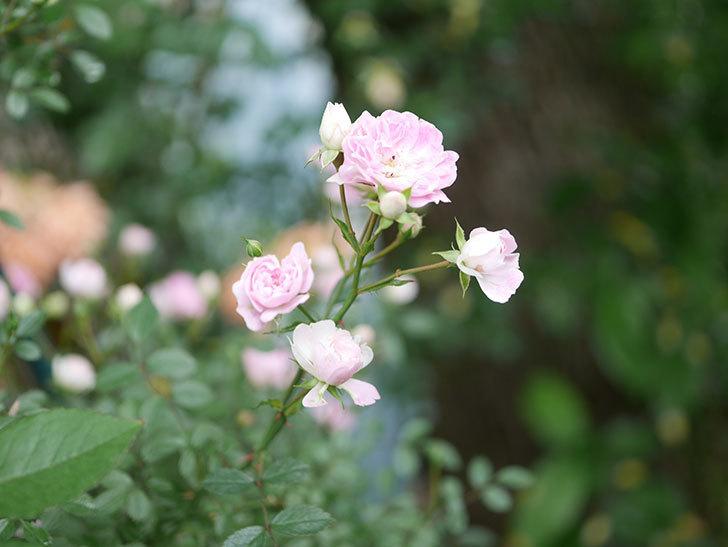 舞姫(マイヒメ)の花が増えて来た。ツルミニバラ。2021年-019.jpg