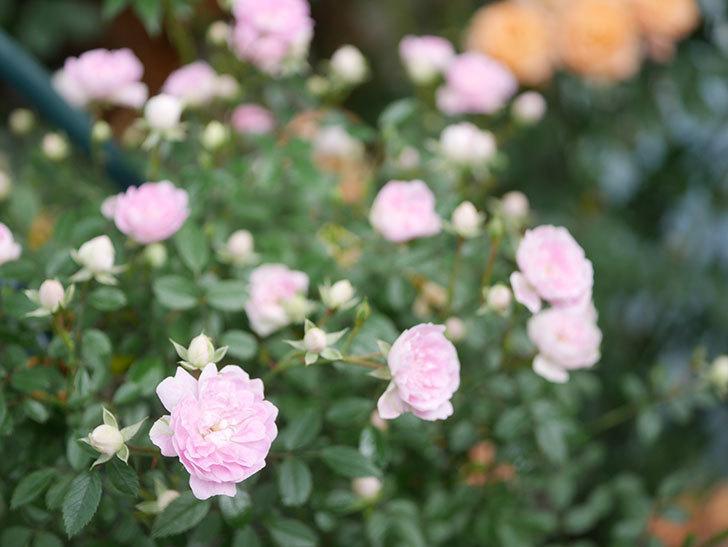 舞姫(マイヒメ)の花が増えて来た。ツルミニバラ。2021年-020.jpg
