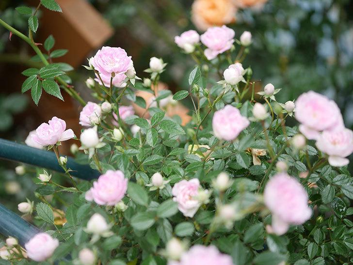 舞姫(マイヒメ)の花が増えて来た。ツルミニバラ。2021年-021.jpg