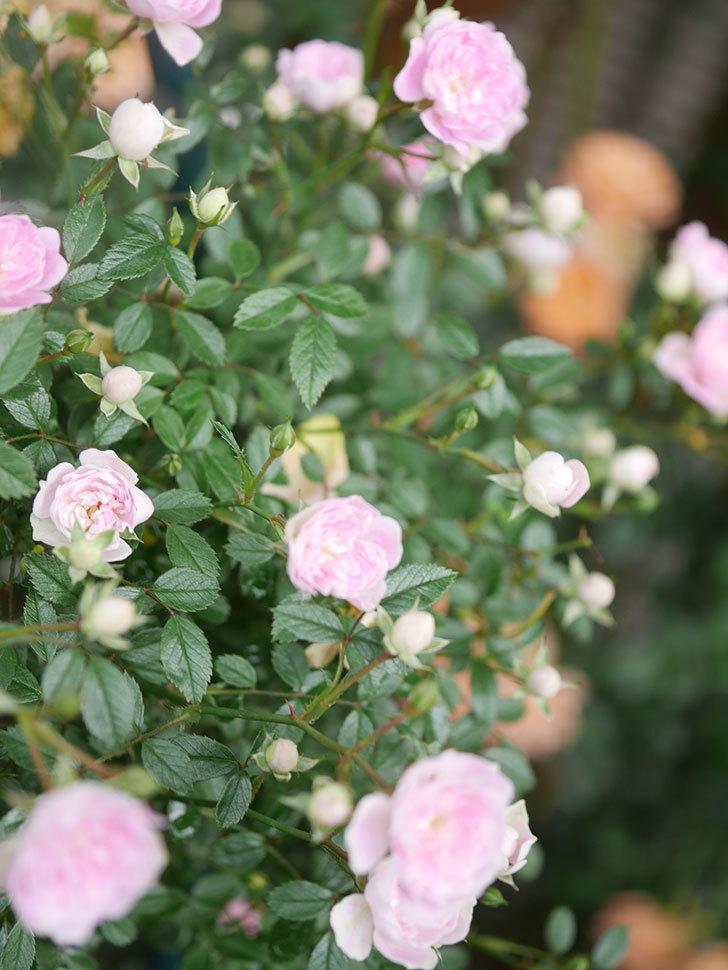 舞姫(マイヒメ)の花が増えて来た。ツルミニバラ。2021年-022.jpg