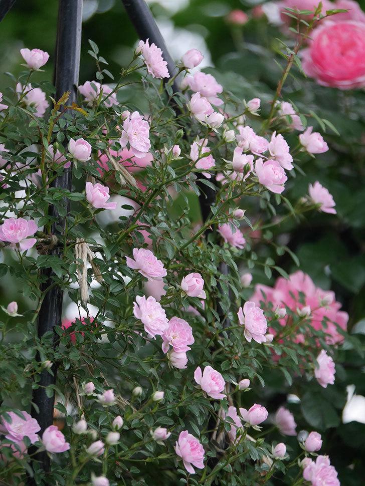舞姫(ツルミニバラ)の花がたくさん咲いた。2020年-005.jpg