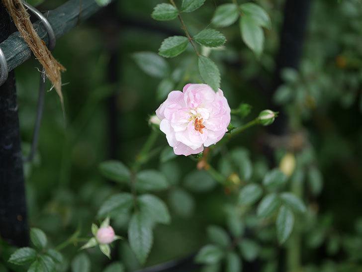 舞姫(ツルミニバラ)の花が咲きだした。2020年-001.jpg
