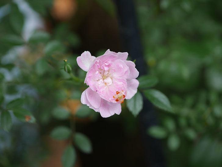 舞姫(ツルミニバラ)の花が咲きだした。2020年-002.jpg