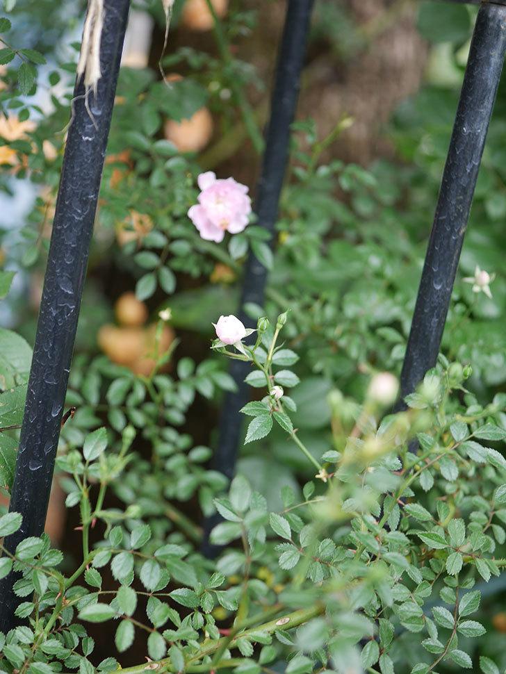 舞姫(ツルミニバラ)の花が咲きだした。2020年-004.jpg