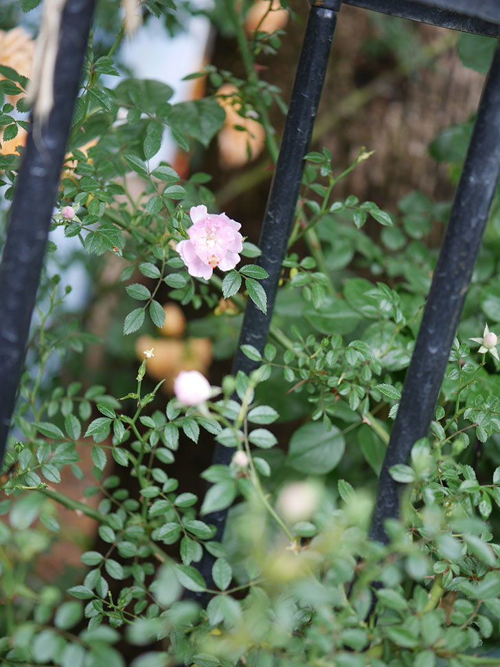 舞姫(ツルミニバラ)の花が咲きだした。2020年-005.jpg