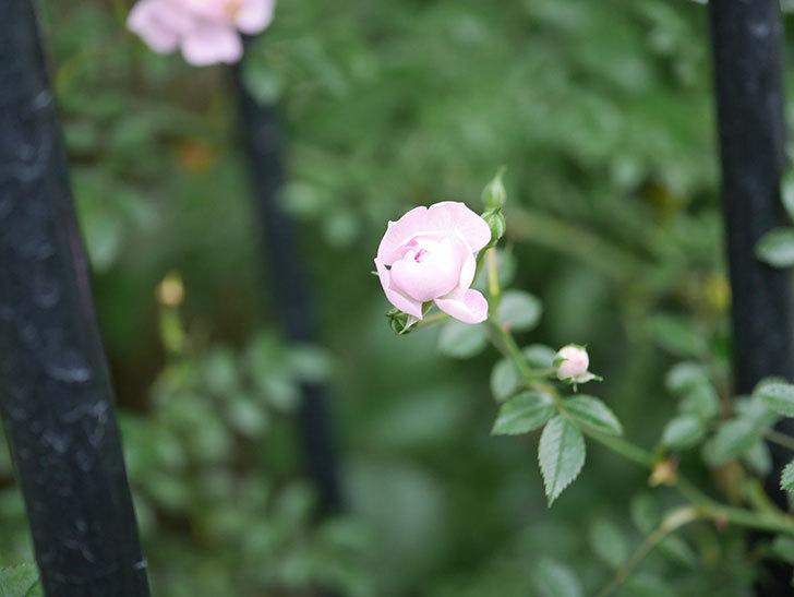 舞姫(ツルミニバラ)の花が咲きだした。2020年-007.jpg