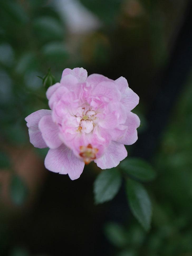 舞姫(ツルミニバラ)の花が咲きだした。2020年-008.jpg