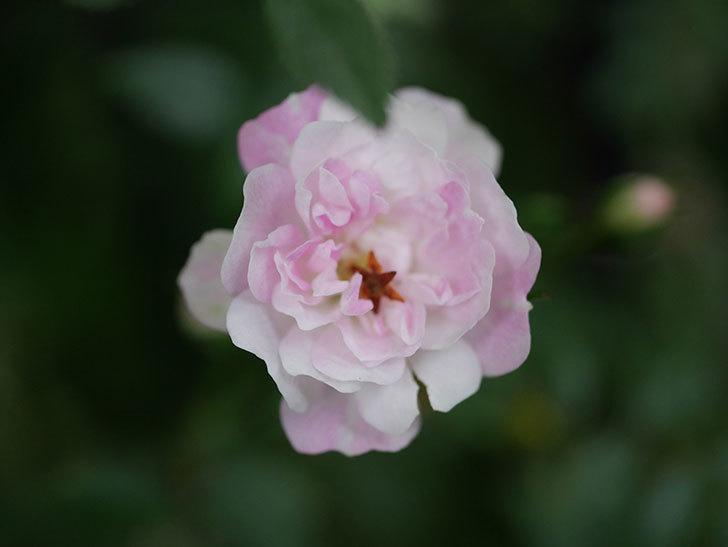 舞姫(ツルミニバラ)の花が咲きだした。2020年-010.jpg
