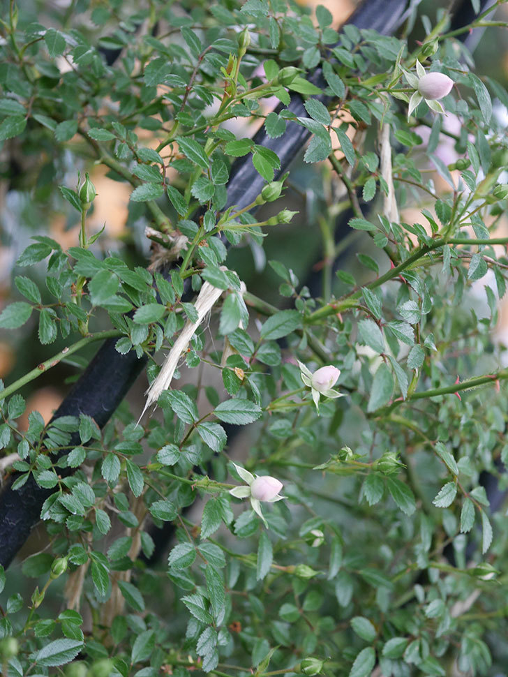 舞姫(ツルミニバラ)の花が咲きだした。2020年-012.jpg