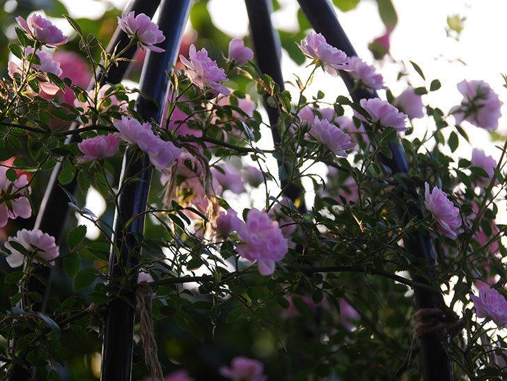 舞姫(ツルミニバラ)の花が満開になった。2020年-001.jpg