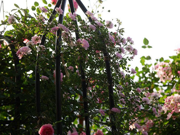 舞姫(ツルミニバラ)の花が満開になった。2020年-003.jpg