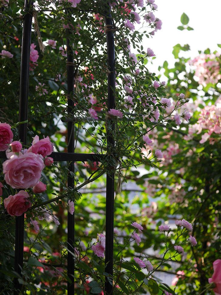 舞姫(ツルミニバラ)の花が満開になった。2020年-005.jpg