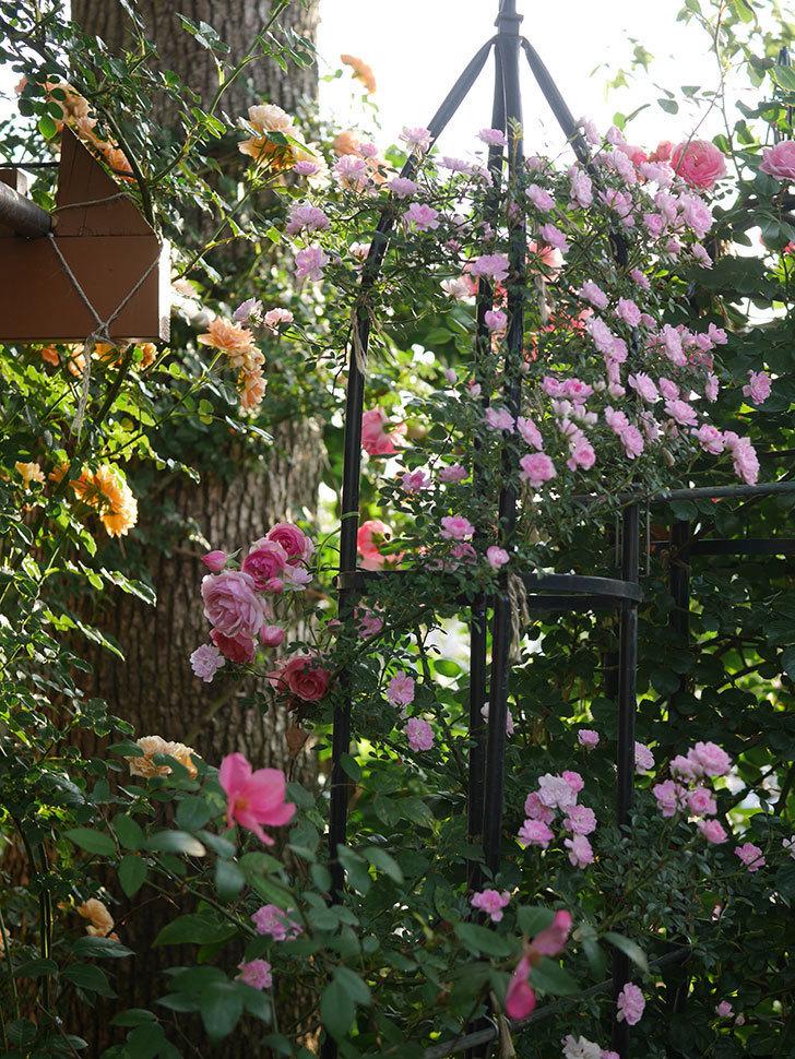 舞姫(ツルミニバラ)の花が満開になった。2020年-006.jpg