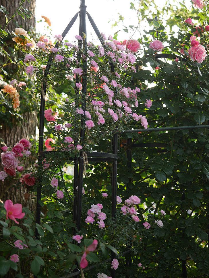 舞姫(ツルミニバラ)の花が満開になった。2020年-007.jpg