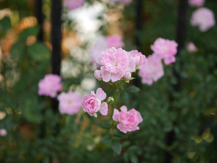 舞姫(ツルミニバラ)の花が満開になった。2020年-009.jpg