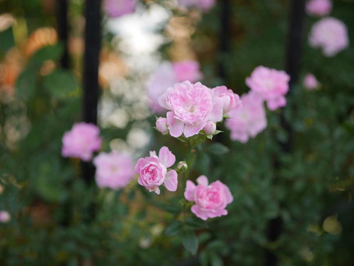舞姫(ツルミニバラ)の花が満開になった。2020年-010.jpg