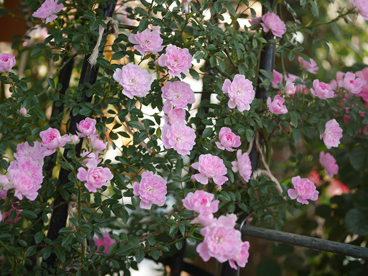 舞姫(ツルミニバラ)の花が満開になった。2020年-011.jpg