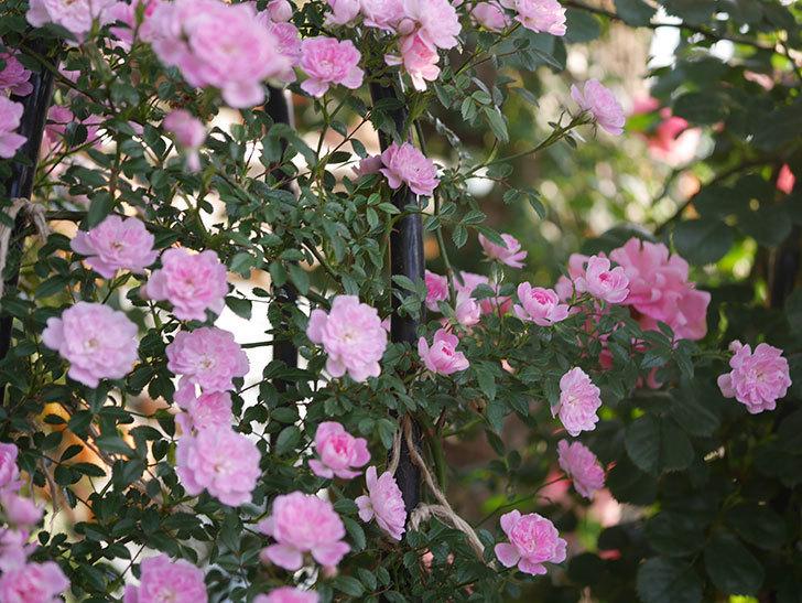 舞姫(ツルミニバラ)の花が満開になった。2020年-012.jpg