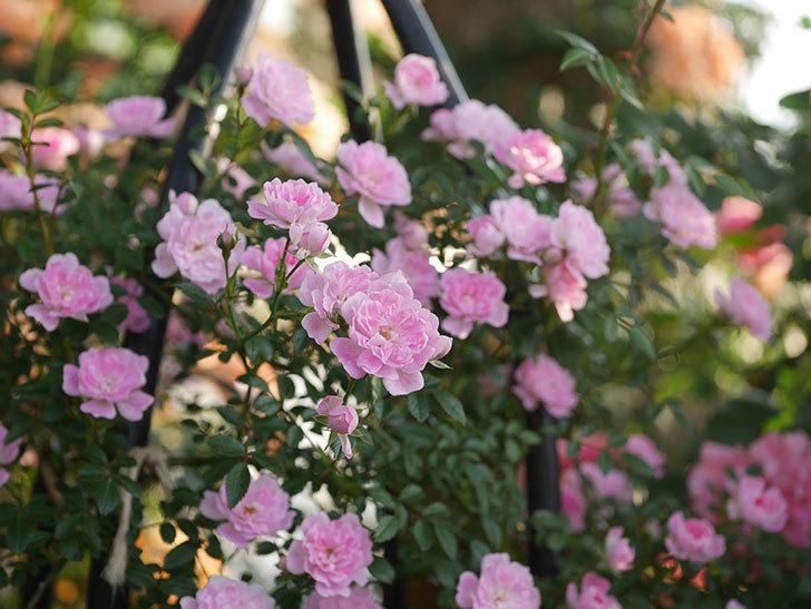 舞姫(ツルミニバラ)の花が満開になった。2020年-013.jpg