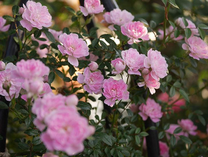 舞姫(ツルミニバラ)の花が満開になった。2020年-014.jpg