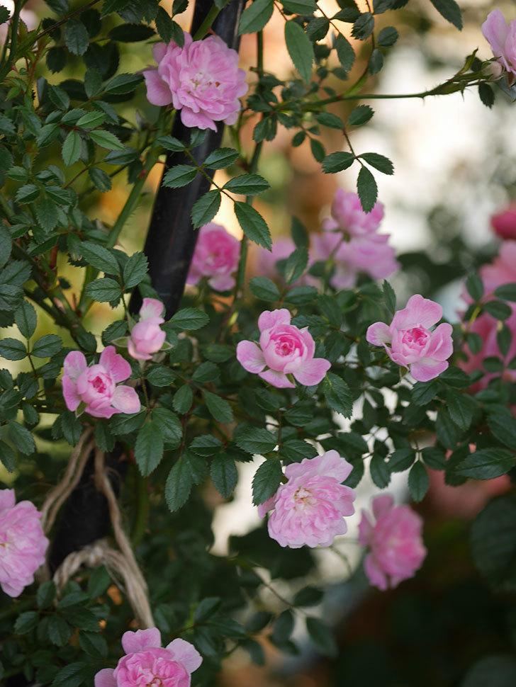 舞姫(ツルミニバラ)の花が満開になった。2020年-015.jpg