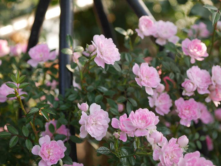 舞姫(ツルミニバラ)の花が満開になった。2020年-016.jpg