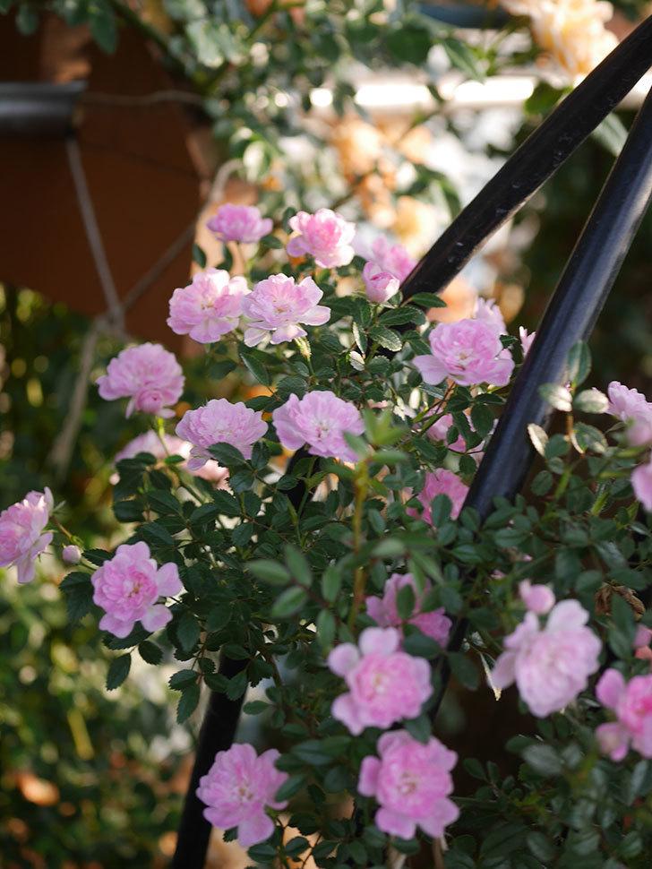 舞姫(ツルミニバラ)の花が満開になった。2020年-017.jpg