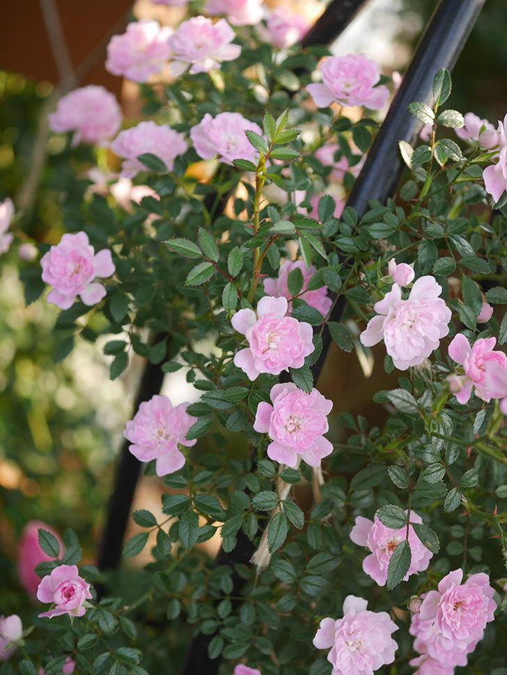 舞姫(ツルミニバラ)の花が満開になった。2020年-018.jpg