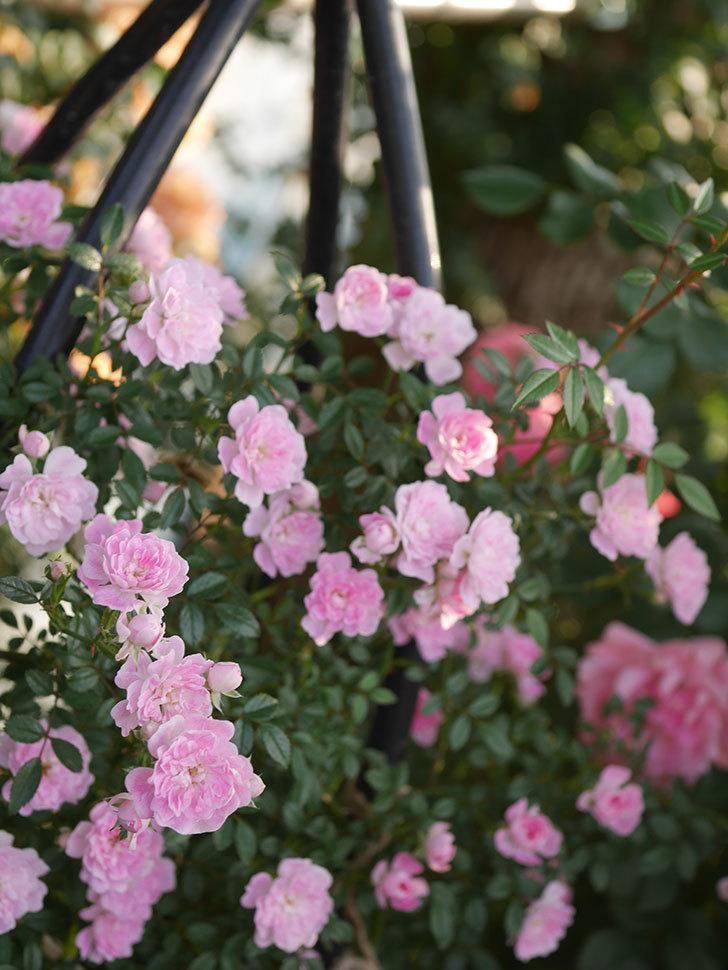 舞姫(ツルミニバラ)の花が満開になった。2020年-019.jpg