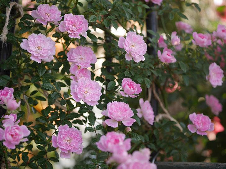 舞姫(ツルミニバラ)の花が満開になった。2020年-021.jpg