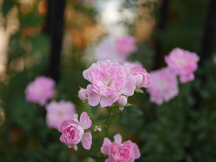 舞姫(ツルミニバラ)の花が満開になった。2020年-022.jpg