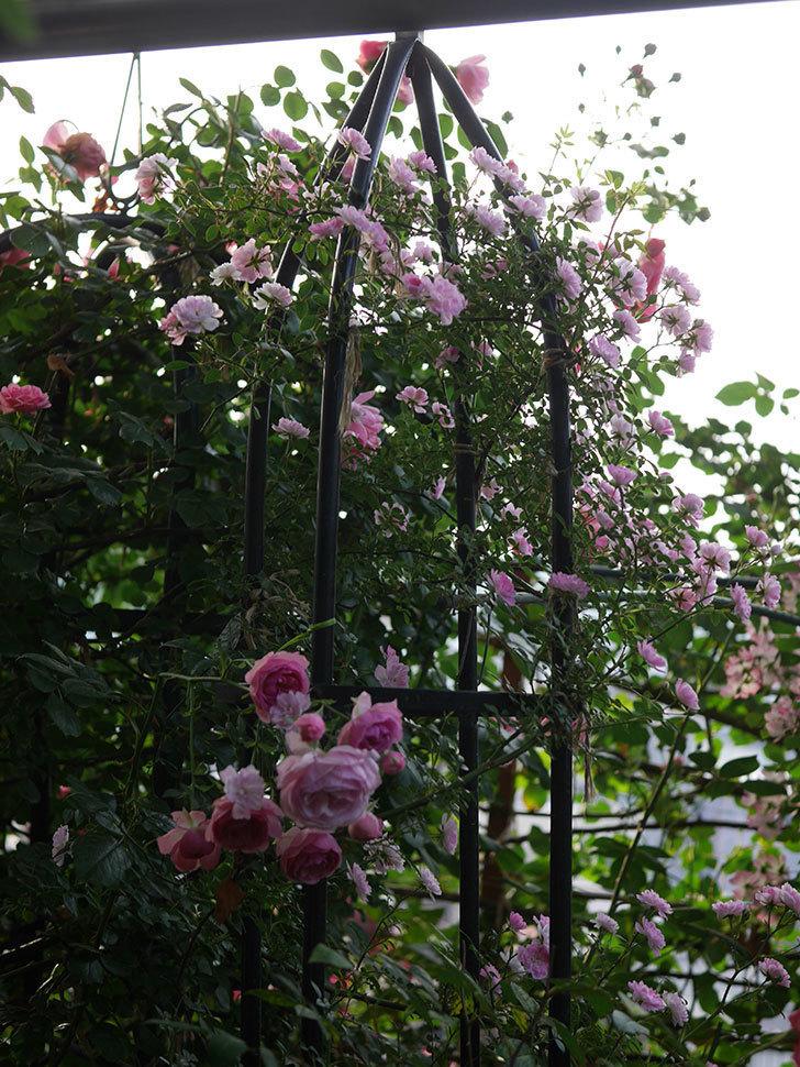 舞姫(ツルミニバラ)の花が満開になった。2020年-023.jpg