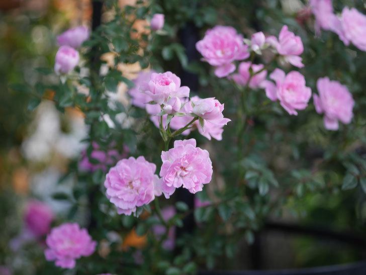 舞姫(ツルミニバラ)の花が満開になった。2020年-025.jpg