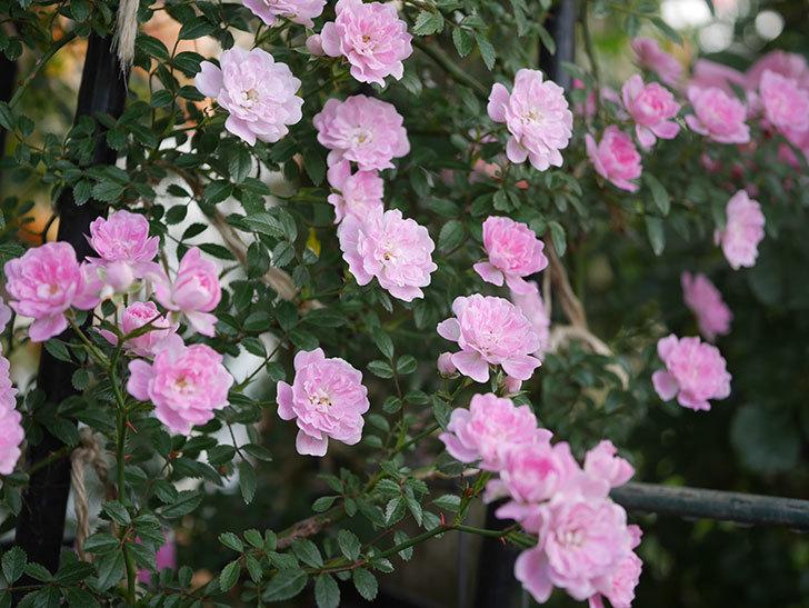 舞姫(ツルミニバラ)の花が満開になった。2020年-026.jpg