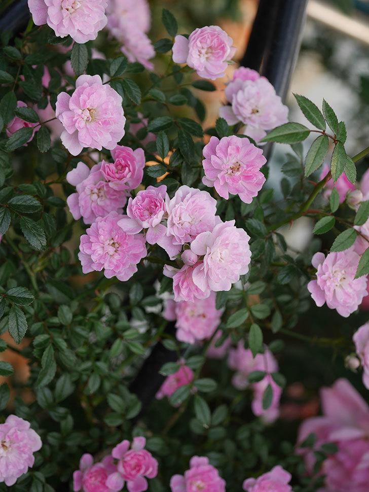 舞姫(ツルミニバラ)の花が満開になった。2020年-027.jpg