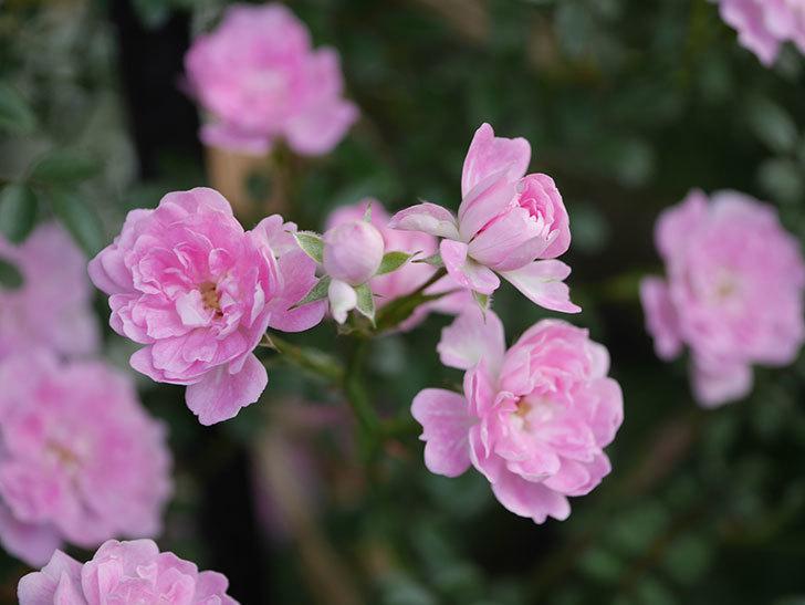 舞姫(ツルミニバラ)の花が満開になった。2020年-028.jpg