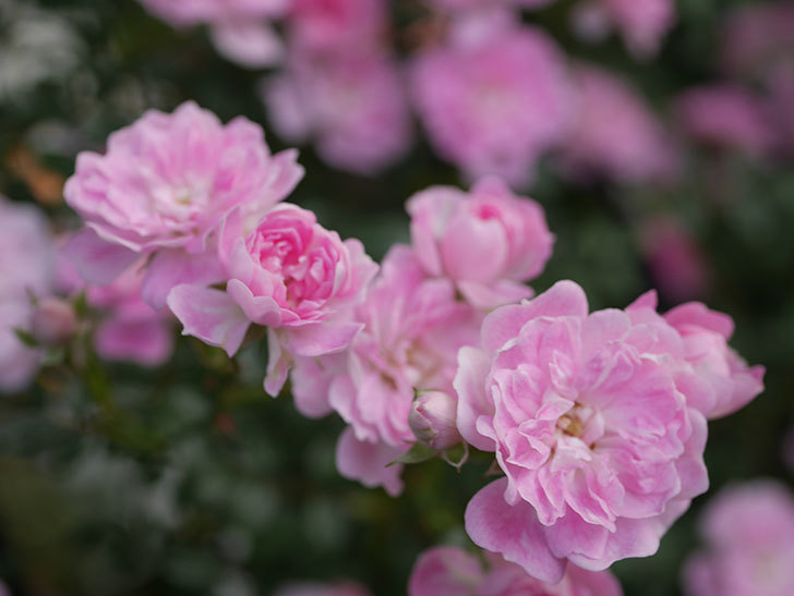 舞姫(ツルミニバラ)の花が満開になった。2020年-029.jpg