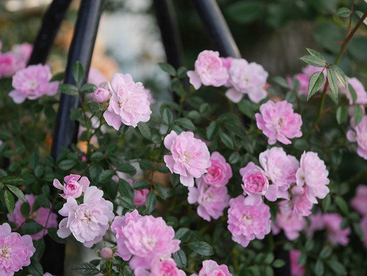 舞姫(ツルミニバラ)の花が満開になった。2020年-030.jpg