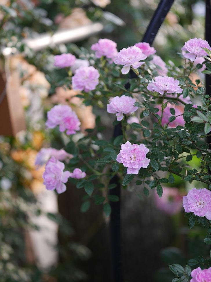 舞姫(ツルミニバラ)の花が満開になった。2020年-031.jpg