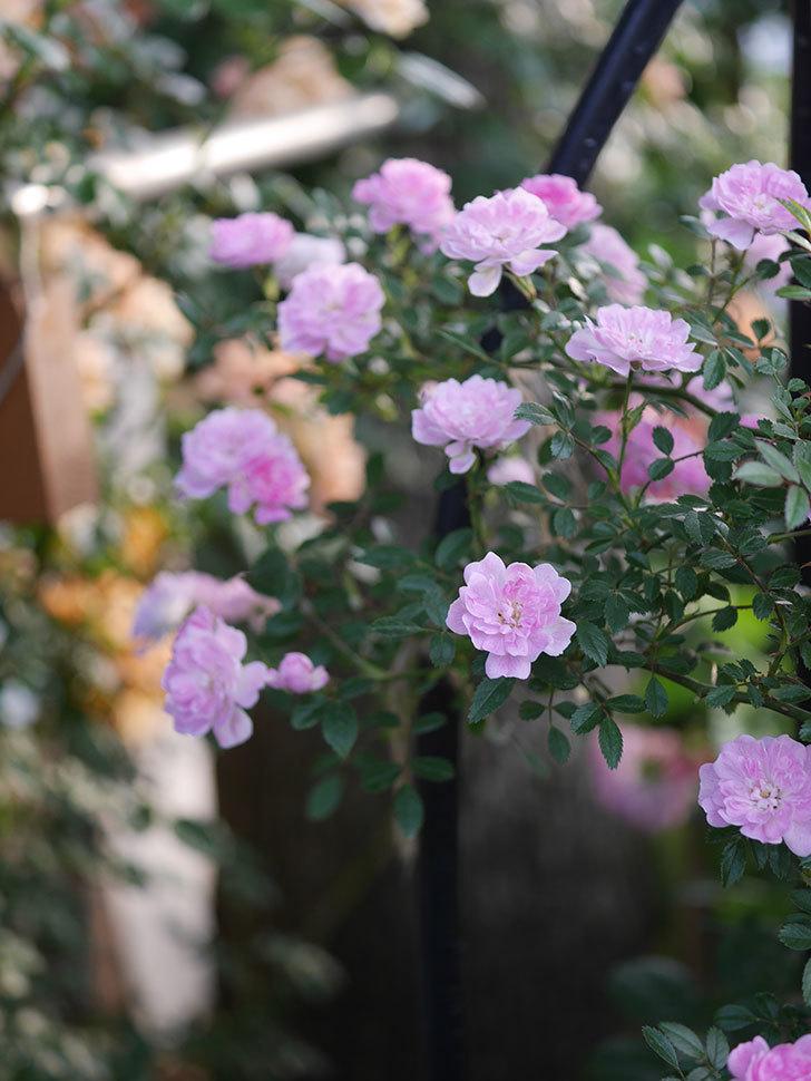 舞姫(ツルミニバラ)の花が満開になった。2020年-032.jpg