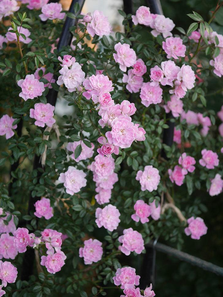 舞姫(ツルミニバラ)の花が満開になった。2020年-033.jpg