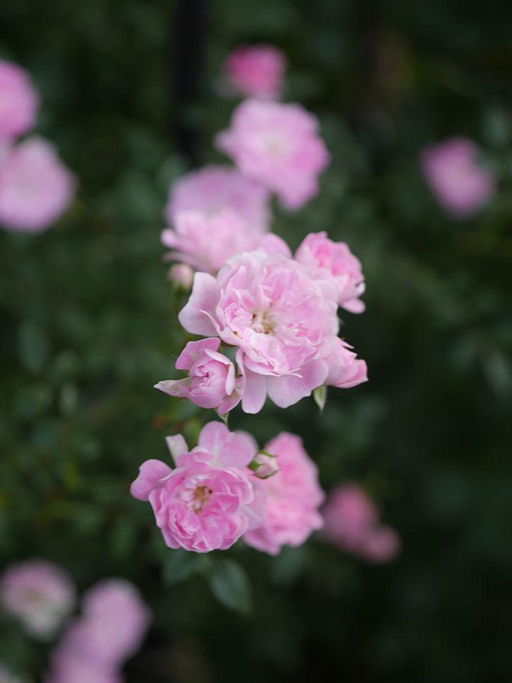 舞姫(ツルミニバラ)の花が満開になった。2020年-034.jpg