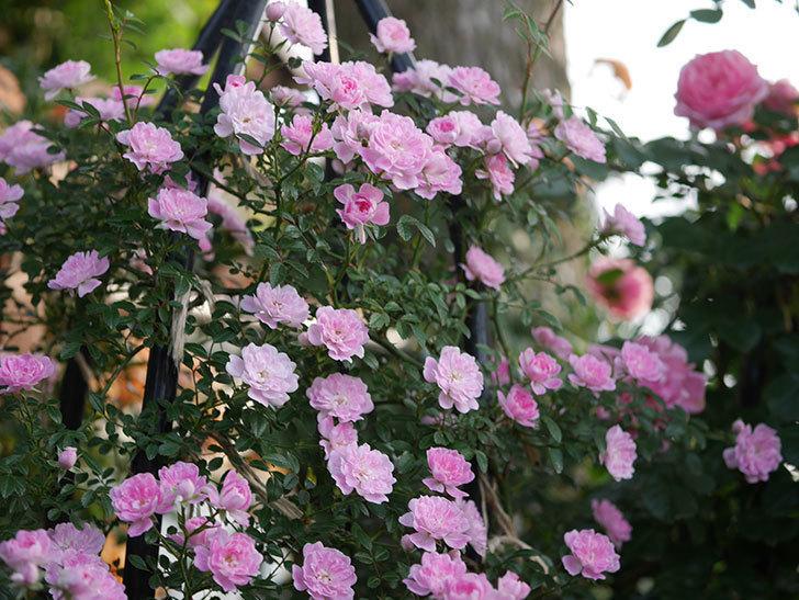 舞姫(ツルミニバラ)の花が満開になった。2020年-035.jpg